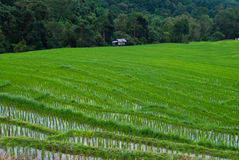 Зеленое Terraced поле риса. Стоковые Изображения