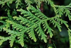 зеленое thuje листьев Стоковая Фотография