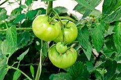 зеленое tomatoe Стоковые Фотографии RF