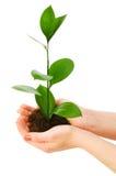 зеленой сец изолированный рукой Стоковое Изображение RF