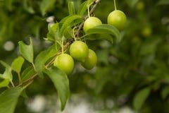 Зеленые абрикосы в утре Стоковые Фотографии RF