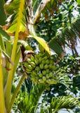 Зеленые бананы на дереве стоковая фотография rf