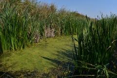 Зеленые болото и тростники вокруг его стоковая фотография