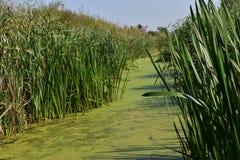 Зеленые болото и тростники вокруг его стоковое фото