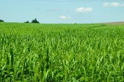Зеленые большие кукурузные поля с голубым небом на горизонте стоковая фотография