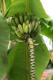 Зеленые большие листья и незрелый пук бананов Стоковое Фото