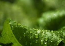 Зеленые большие листья после дождя closeup весна предпосылки зеленая Стоковые Фотографии RF
