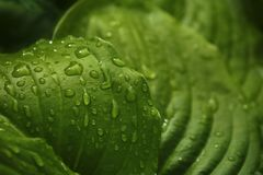 Зеленые большие листья после дождя closeup весна предпосылки зеленая Стоковые Изображения RF