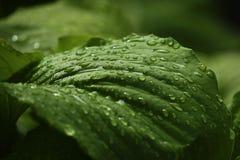 Зеленые большие листья после дождя closeup весна предпосылки зеленая Стоковая Фотография RF