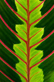 зеленые вены красного цвета листьев Стоковая Фотография