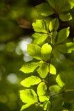 зеленые вены текстуры листьев Стоковые Изображения RF