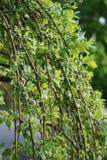 Зеленые ветви вербы стоковая фотография