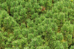 Зеленые ветви дерева сосенки Стоковые Фото