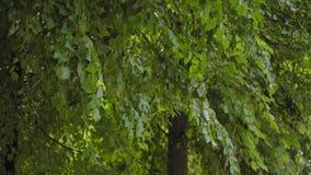 Зеленые ветви деревьев в парке города летом акции видеоматериалы