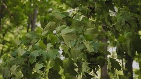 Зеленые ветви деревьев в парке города летом сток-видео