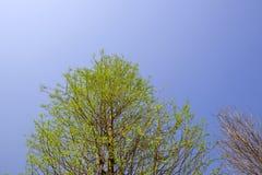 зеленые ветви и листва облыселого distichum Taxodium кипариса Стоковое Изображение