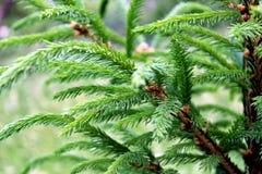 Зеленые ветви молодых рождественских елок на темной ой-зелен предпосылке леса стоковая фотография