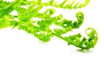Зеленые ветви разрешения папоротника изолированные на белой предпосылке Стоковые Фото