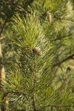 Зеленые ветви сосны с конусами стоковые изображения