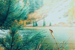 Зеленые ветви хвои на предпосылке озера горы Стоковое Изображение