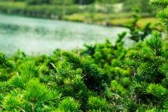 Зеленые ветви хвои на предпосылке озера горы Стоковые Фото