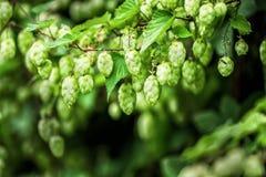 Зеленые ветви хмеля стоковое фото rf
