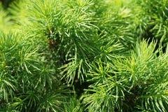 Зеленые ветви orientalis Picea стоковая фотография rf