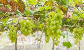 Зеленые виноградины в саде или винограднике виноградины с лозой Стоковое Изображение