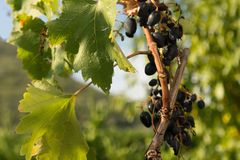 Зеленые виноградины Листья и грозы стоковые изображения rf