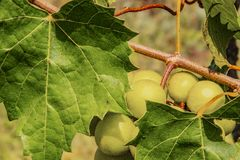 Зеленые виноградины на лозе в винограднике с расплывчатой предпосылкой стоковые фотографии rf