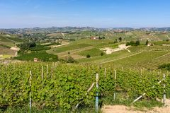 Зеленые виноградники на холмах Langhe стоковое фото rf