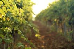 Зеленые виноградные лозы растя в винограднике стоковое изображение