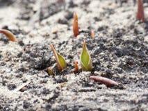 Зеленые всходы тюльпанов выходить земля Стоковая Фотография