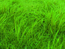 зеленые выгоны Стоковое фото RF