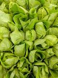 Зеленые головы салата стоковые изображения