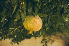 Зеленые гранатовые деревья на дереве Взгляд крупного плана незрелых гранатовых деревьев вися на дереве Granatum Punica Стоковая Фотография RF