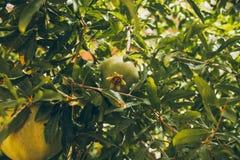 Зеленые гранатовые деревья на дереве Взгляд крупного плана незрелых гранатовых деревьев вися на дереве Granatum Punica Стоковые Фото
