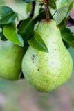 Зеленые груши Bartlett или груши Williams растя в грушевом дерев дереве Стоковая Фотография RF