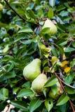 Зеленые груши Bartlett или груши Williams растя в грушевом дерев дереве Стоковые Изображения RF
