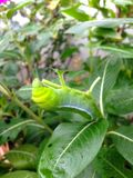 Зеленые гусеницы Стоковое Изображение