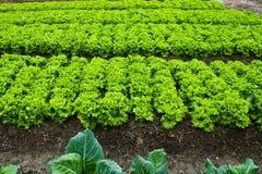 зеленые густолиственные овощи Стоковые Фотографии RF