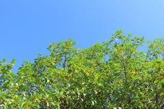 Зеленые дерево и небо Стоковые Изображения