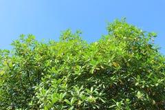 Зеленые дерево и небо Стоковое Изображение RF