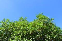 Зеленые дерево и небо Стоковое Изображение