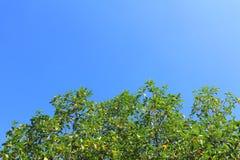 Зеленые дерево и небо Стоковая Фотография