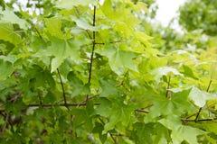 Зеленые детали кленового листа Стоковое Изображение RF