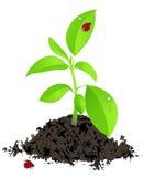зеленые детеныши завода ladybird Иллюстрация вектора