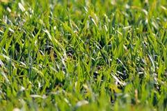 зеленые детеныши пшеницы Стоковые Изображения