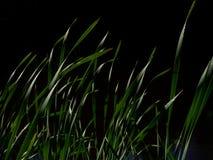 Зеленые длинные листья на черной предпосылке Листья Reed в темной воде Стоковое Фото