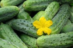 Зеленые домодельные огурцы Овощи, натуральные продукты Стоковая Фотография RF